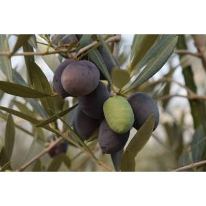 小倉園 オリーブ・オヒブランカ 8号鉢(現行品種)|greenjamfoliageplant