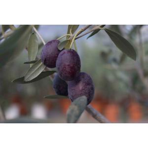 小倉園 オリーブ・UC13A6 カリフォルニアクイーン 8号鉢|greenjamfoliageplant