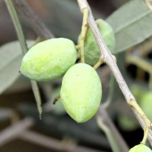 小倉園 オリーブ・コロネイキ 8号鉢|greenjamfoliageplant