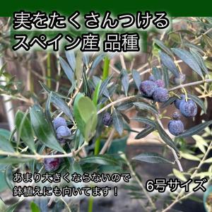 小倉園 オリーブ・アルベキーナ 8号鉢|greenjamfoliageplant
