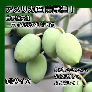 小倉園 オリーブ・セントキャサリン 8号鉢|greenjamfoliageplant