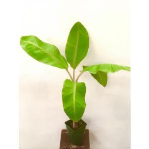 果樹苗 トロピカルフルーツ アイスクリームブルーバナナ 1株|greenlifecom
