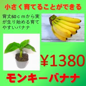 果樹苗 トロピカルフルーツ ドワーフモンキーバナナ 1株|greenlifecom