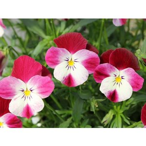 うさぎビオラ 3株寄せ植え 春のラララ(代引不可)|greentime