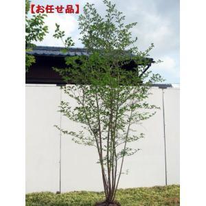 エゴノキ 株立 樹高2.0m前後(根鉢含まず)  シンボルツリー 落葉樹 落葉高木 雑木 白花 庭木