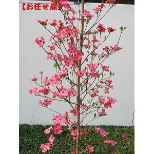 今年の花芽いっぱい アップルブロッサム [ハナミズキ]樹高2.0m前後(根鉢含まず) シンボルツリー...