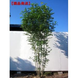 現品発送 シマトネリコ 樹高2.4m-2.6m(根鉢含まず) 株立  シンボルツリー 庭木 植木 常...