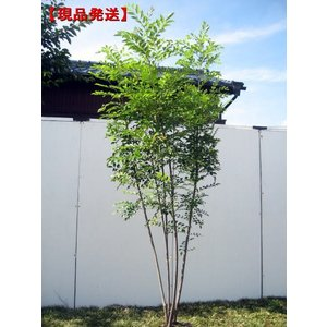 現品発送 シマトネリコ 樹高2.0-2.3m(根鉢含まず)
