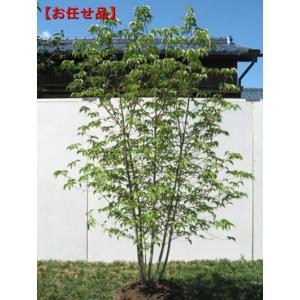 ヤマボウシ 株立 樹高2.0m以上(根鉢含まず) シンボルツリー 落葉高木 落葉樹 白花 庭木 花木