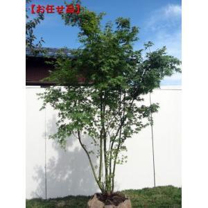 イロハモミジ 株立 樹高2.0m以上(根鉢含まず)   シンボルツリー 落葉樹 落葉高木 庭木