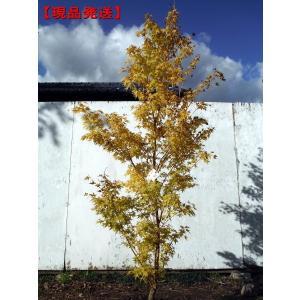 現品発送 モミジ ビホウ(美峰) 樹高2.1-2.5m(根鉢含まず)   シンボルツリー 落葉樹 落...