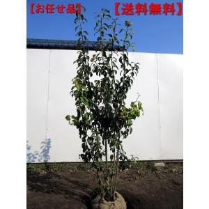 ソヨゴ  メス株 株立 樹高約1.5m(根鉢含まず) シンボルツリー 庭木 植木 常緑樹 常緑高木
