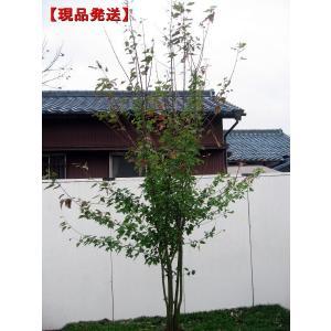 現品発送 ハナノキ(ハナカエデ) 株立 樹高2.1m-2.2...