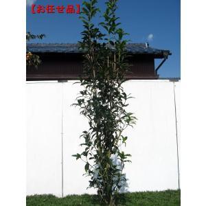キンモクセイ(金木犀) 樹高2.0m(根鉢含まず)