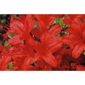 クルメツツジ(久留米ツツジ) 本霧島(ホンキリシマ) 赤花一重 約0.3m根鉢含む)