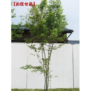 イロハモミジ 株立 樹高2.5m(根鉢含まず) [大型商品・...