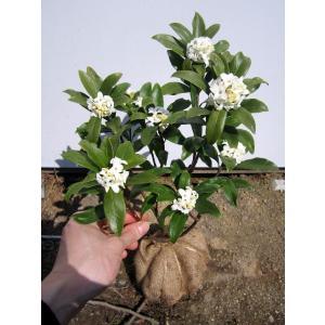 送料無料 沈丁花(ジンチョウゲ) 白 25cm前後(根鉢含む)