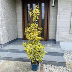 グミ ギルドエッジ<BR>樹高1.8m前後(鉢底から)8号 シンボルツリー 庭木 植木 常緑樹 常緑高木の画像