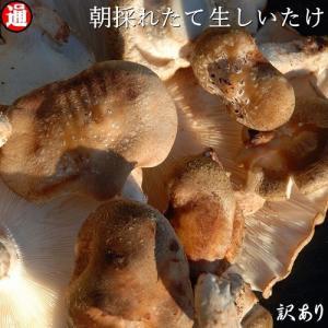 その日の朝とれたシイタケを発送いたします。 新鮮な生しいたけをお楽しみください。 生椎茸/菌床しいた...