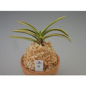 【富貴蘭】 満月(まんげつ)/ 花 古典植物 フウラン 送料無料