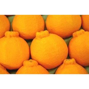 お歳暮デコポン通販 糖度約13度の凸が特徴の柑橘を販売取寄。...