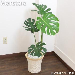 モンステラ 観葉植物 白プラ鉢 高さ約80cm〜100cm 白プラ鉢+鉢カバー黒or白 生花