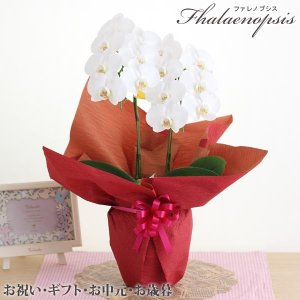 ・お中元 特別価格商品 ・ミディ胡蝶蘭〜大輪の胡蝶蘭まで入荷に応じて出荷させていただきます。 ・色は...
