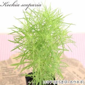 ホウキグサ(コキア)苗 3.5号(10.5cm)