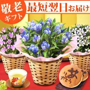 敬老の日 ギフト 花 和菓子 セット 鉢花 どら焼き スイーツ  生花 プレゼント  リンドウ|hana-collabo