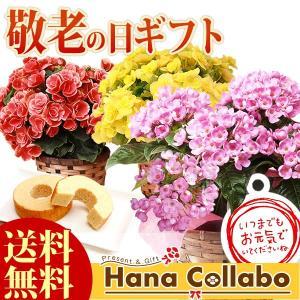 敬老の日 ギフト 鉢花 花 セット バウムクーヘン スイーツ プレゼント  生花 ベゴニア におい桜|hana-collabo