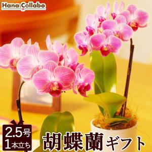 ミディ胡蝶蘭 椎名洋蘭園から産地直送 開店祝いや還暦祝いに 可愛いピンクのミニサイズ 誕生日プレゼントやお祝いにも 2.5号マイクロ胡蝶蘭|hana-collabo