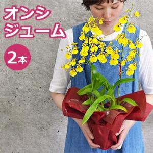 オンシジュームの2本仕立て鉢植え 敬老の日 ギフト プレゼント 花