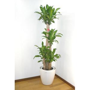 観葉植物の定番!別名「幸福の木」とも呼ばれるドラセナ。 開店御祝いや新築祝いにおすすめ!  ■仕入れ...