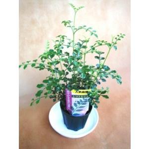 ミニ観葉植物シマトネリコ鉢植え(2.5号)
