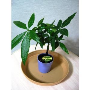 ミニ観葉植物パキラ鉢植え(2.5号)