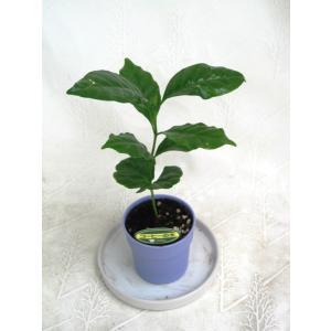 ミニ観葉植物コーヒーの木鉢植え(2.5号...