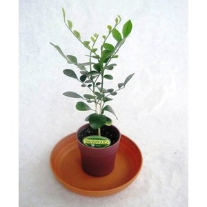 ミニ観葉植物シルクジャスミン鉢植え(2.5号)の商品画像