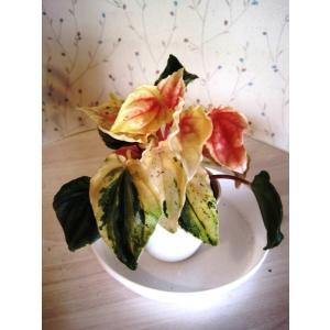 ペペロミア・ピンクレディー鉢植え(2.5号)鉢の直径7.5センチ、高さ約20センチ 鉢はプラスチック...