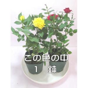 ミニバラ鉢植え(2.5号)