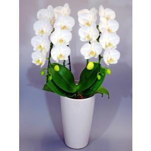 白色胡蝶蘭(2本立) 鉢は陶器 鉢の直径12cm 高さ約50cm 栞付き ラッピング、開店祝いの札 ...