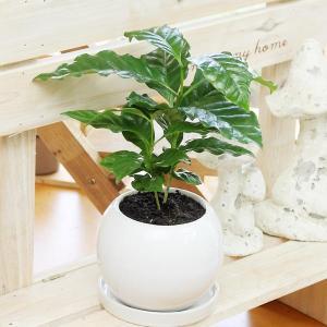 観葉植物(生花) コーヒーの木 陶器鉢(鉢皿付) 高さ25cm〜30cm