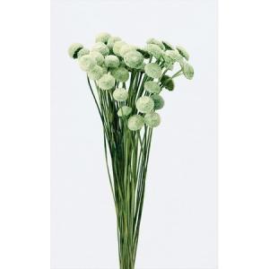 即日 ドライ 大地農園 ボタンフラワー 22g ニュアンスグリーン 30163-700 00 ドライフラワー花材 ボタンフラワー
