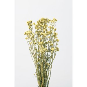 即日 ドライ 大地農園 SAデージー モーニングイエロー 約30g 32043-500 00 ドライフラワー花材 シルバーデージー