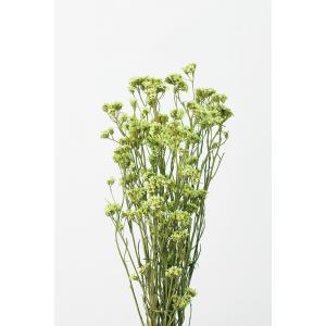 特価 即日 ドライ 大地農園 SAデージー クリアグリーン 約30g 32043-720 ドライフラワー花材 シルバーデージー