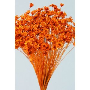 即日 ドライ 大地農園 スターフラワー ミニ オレンジ 12g 30194-351 ドライフラワー花材 スターフラワー