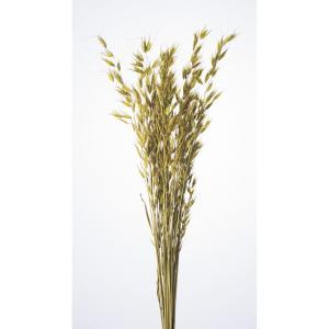 大特価 即日 ドライ 大地農園 アベナ プベッセンス 35g入り グリーン 30270-700 ドライフラワー花材 ムギ 大麦、小麦