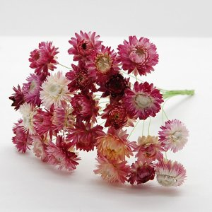 ドライ コアトレーディング ヘリクリサムワイヤー 約25本 ナチュラルピンク 17279 21  10束 ドライフラワー花材 ヘリクリサム