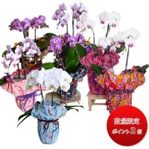 ミディー胡蝶蘭 4.0号 陶器鉢 母の日 ギフト プレゼント 送料無料 和風ラッピング 花鉢 フラワーギフト ※花の色 ラッピング柄、お任せください|hanaerikaheh2008y|02