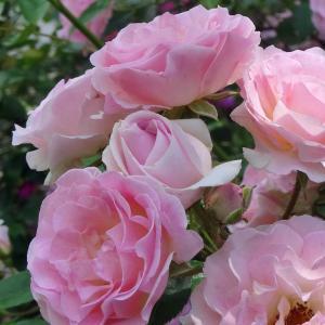 バラ 苗 【つるバラ ピンクサマースノー (春かすみ) (CL) 中輪 一季咲き】 アーチ向け 薔薇...
