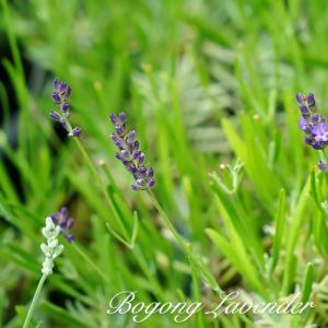●品種の特徴 開花時は100cmほどの草丈となる大型種です。花穂の長さは、5〜6cmで花茎は40cm...